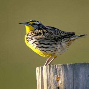 Oregon State Bird, Western Meadowlark (Sturnella neglecta ...